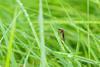 Mücke im Gras