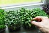 Microgreens in Pflanzgefäßen auf der Fensterbank