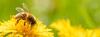 Eine Biene läuf auf einer Blume