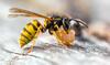 Wespe mit Nahrung