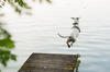 Hund springt von einem Steg ins Wasser