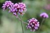 Blüten des Eisenkraut